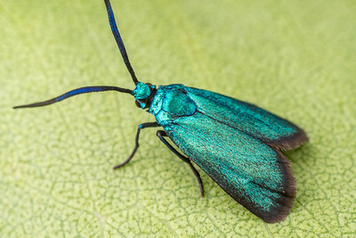 Blue Forester Moth