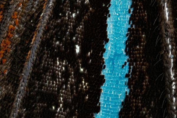 Blue Tiger Butterfly III