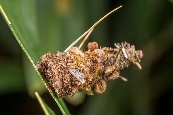 Small Acacia Case Moth I