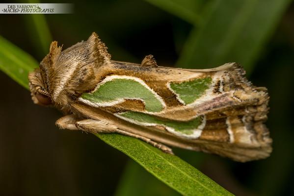 Blotched Green Moth
