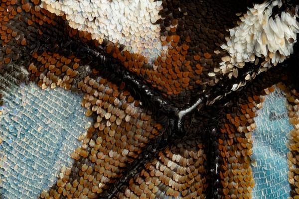 Blue Tiger Butterfly II