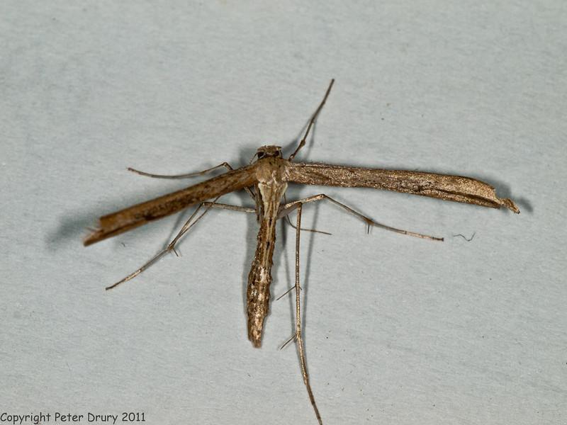 16 July 2011. Emmelina monodactyla at Widley. Copyright Peter Drury 2011