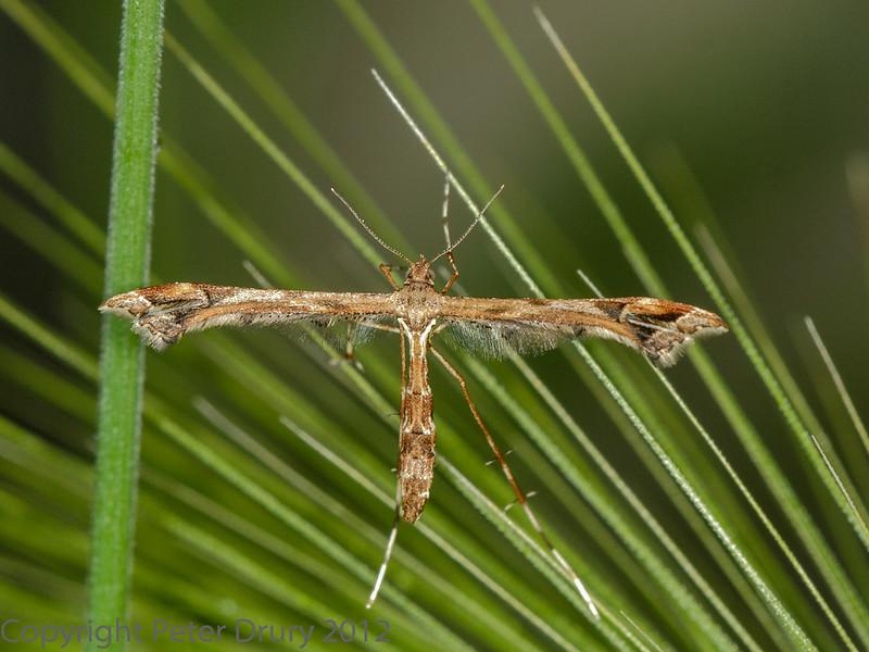 29 June 2012 Plume moth at Fareham.