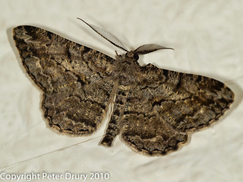 08 Aug 2010 - Moth for ID. Copyright Peter Drury 2010