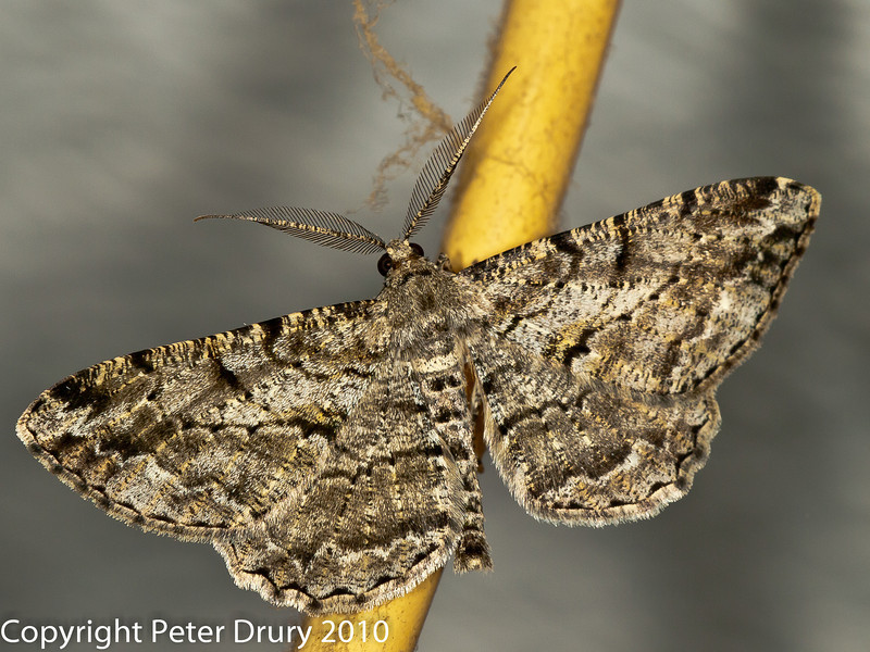 08 Aug 2010 -  Willow Beauty (Peribatodes rhomboidaria). Copyright Peter Drury 2010