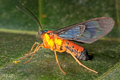 Wasp moth covered with pollen (Cosmosoma auge)