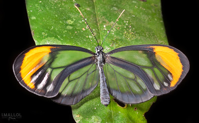 Glasswing butterfly (Ithomiinae)