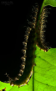 Rear-lit caterpillars