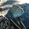 Eastern Tailed Blue (Everes comyntas)