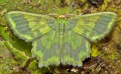 Green geometrid