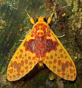 Yellow tiger moth (Amaxia pulchra)
