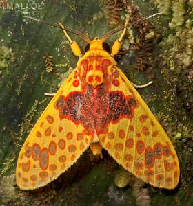 Yellow tiger moth (Amaxia pulchra)