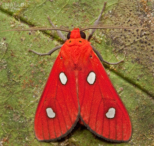 Red tiger moth (Hyperthaema sanguineata)