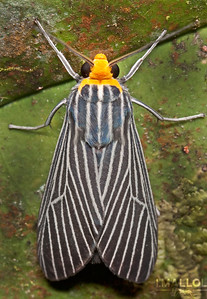 Gangster suit striped moth