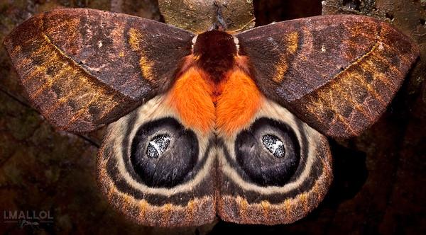 Intimidating eyelike patches (Automeris egeus)