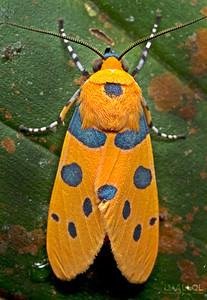 Blue dotted tiger moth