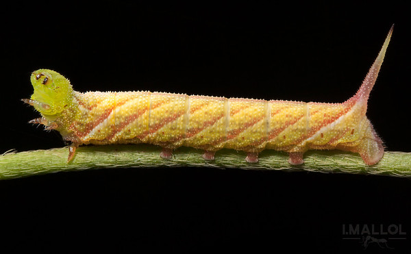 Hornworm (Sphinx moth caterpillar)