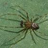 Drapetisca alteranda male<br /> 4894, Parc les Salines, St-Hyacinthe, Quebec<br /> 15 septembre 2011