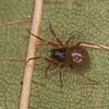 Ceraticelus laetabilis femelle,id.Claude Simard<br /> MG 2626, St-Hugues ,Quebec,17 septembre 2012