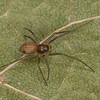Bathyphantes sp. femelle immature<br /> MG 3854, St-Hugues, Quebec, 23 octobre 2012