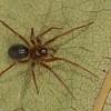Centromerus sylvaticus femelle,id.Claude Simard <br /> MG 2843, Frelighsburg,Quebec, <br /> 28 septembre 2012