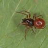 Ceraticelus laetabilis male,id.Claude Simard<br /> MG 2594, St-Hugues ,Quebec,17 septembre 2012
