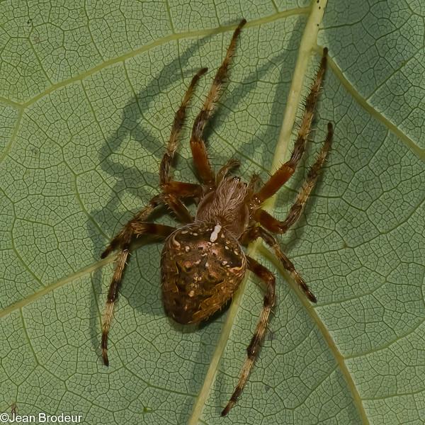 Araneus nordmanni<br /> 4337, St-Hugues, Quebec, 2 septembre 2011