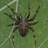 Araneus diadematus, Cross Orbweaver, Araneidae <br /> 2656, Parc régional, Longueuil, Québec, été 2010