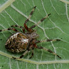 Araneus nordmanni, Araneidae (OrbWeavers)<br /> 1434, Parc Les Salines, St-Hyacinthe, Québec, été 2010