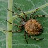 Araneus diadematus,<br /> 6815, Parc Les Salines, St-Hyacinthe, Québec, été 2010