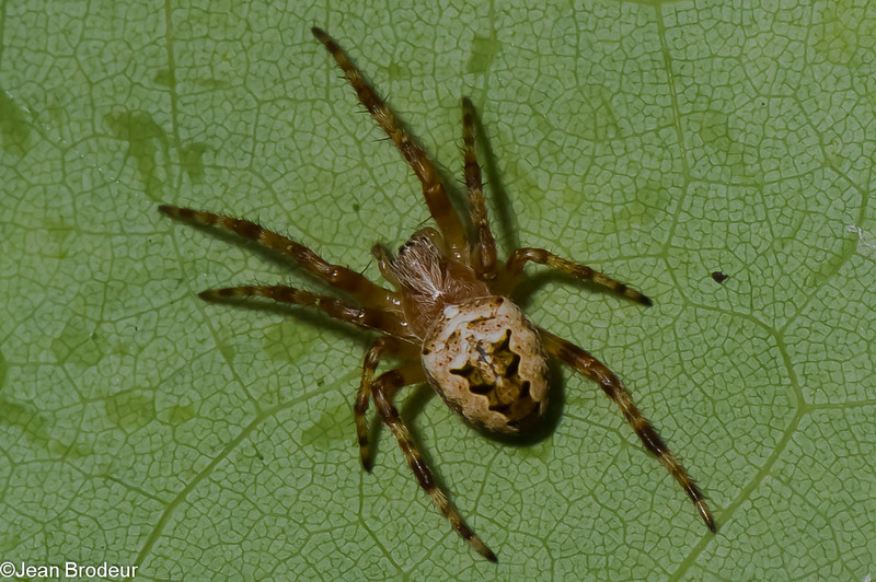 Araneus nordmanni<br /> 1777, Parc les Salines, St-Hyacinthe, Quebec<br /> 2 juin 2011