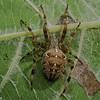 Araneus diadematus,<br /> 4683, St-Hugues, Québec, été 2010