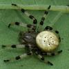 Araneus trifolium , Araneidae (Orb Weavers) <br /> 0936, St-Hugues, Québec, 26 aout 2010