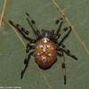 Araneus trifolium, Araneidae (Orb Weavers) <br /> 1005,Saint-Antoine -de-Tilly, Quebec, 3 octobre 2013
