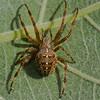 Araneus diadematus,<br /> 8429, Mirabel, Québec, été 2010