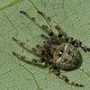 Araneus Bicentenarius<br /> 8922, St-Hugues, Quebec, 26 juillet 2011