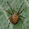 Araneus diadematus,<br /> 0528, Parc Les Salines, St-Hyacinthe, Québec, été 2010