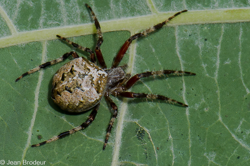 Araneus nordmanni, Araneidae (Orb Weavers)<br /> 0758, Parc Les Salines, St-Hyacinthe, Québec, été 2010