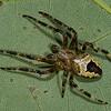 Araneus nordmanni male<br /> 7854, Parc les Salines, St-Hyacinthe, Quebec<br /> 19 juillet 2011