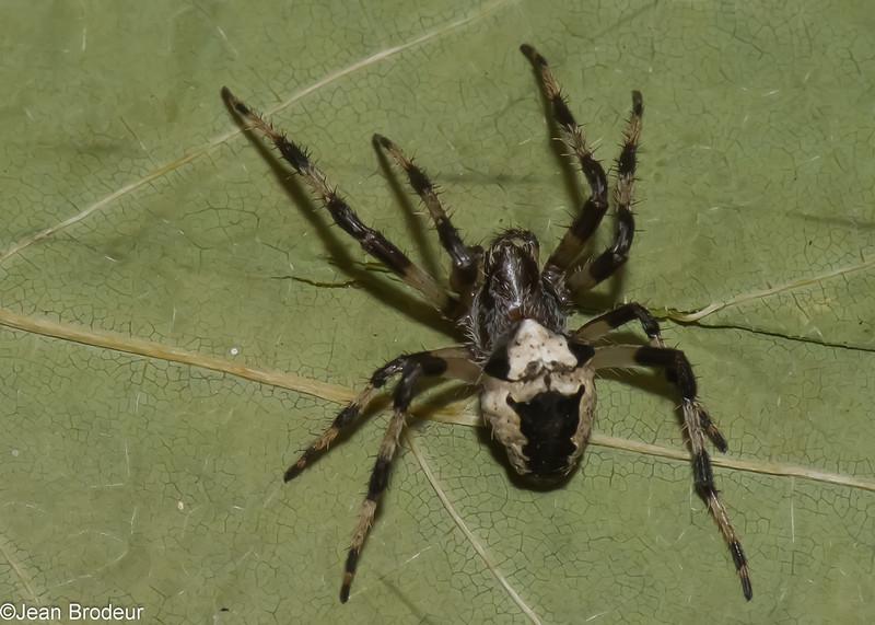 Araneus nordmanni femelle, id.Claude Simard<br /> 0687, La Tuque, Quebec, 7 octobre 2012