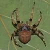 Araneus bicentenarius femelle , id, Claude Simard<br /> 9588, St-Hugues, Quebec,10 juin 2012