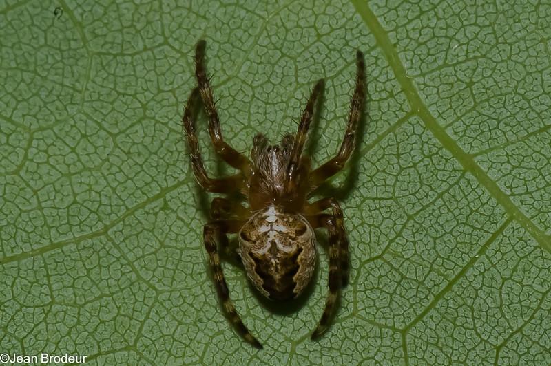 Araneus nordmanni<br /> 2015, Parc les Salines, St-Hyacinthe, Quebec<br /> 2 juin 2011