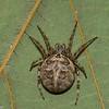 Larinioides sclopetarius femelle,id Claude Simard 0022 ,Contrecoeur,Quebec,7 Juillet 2012