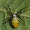 Argiope trifasciata, Banded Garden Spider, Argiopinae, Araneidae<br /> 1807, St-Hugues, été 2010