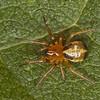 Hypsosinga pygmaea, Dolophonini ,Araneidae<br /> MG 9216, Boise de la Saulaie, Boucherville,<br /> Quebec, 22 septembre 2011