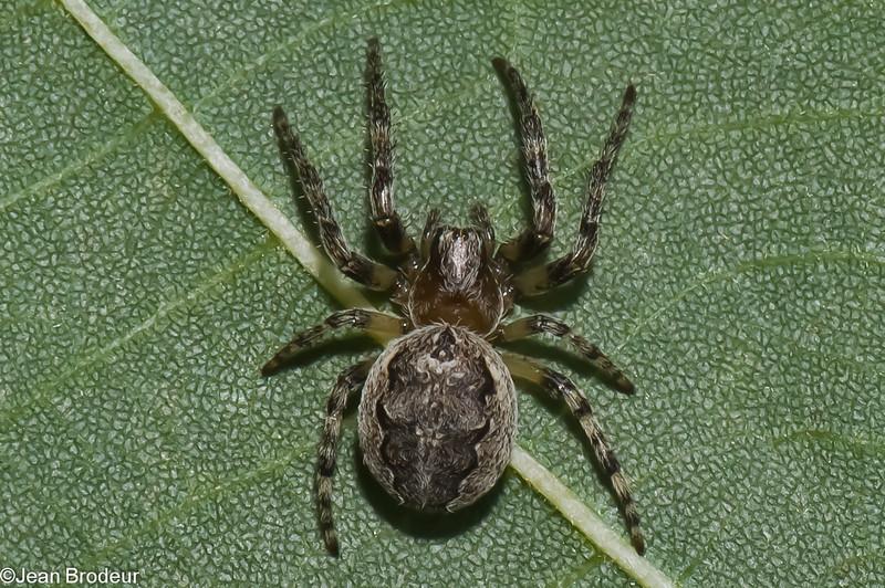 Larinioides sclopetarius juvenile<br /> 4953, St-Hugues, Quebec, 16 septembre 2011