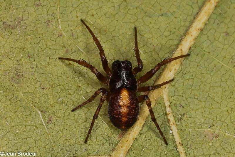 Cercidia prominens male, id, Claude Simard<br /> MG 0630, Terrebonne, Quebec,19 avril 2012