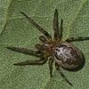 Larinoides cornutus male<br /> 5564, Boise de la Saulaie, Boucherville, Quebec, 22 septembre 2011