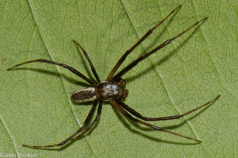 Argiope aurantia male<br /> 2951, St-Hilaire, 17 aout 2011