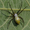 Argiope trifasciata, Banded Garden Spider,<br /> 3386, St-Hugues, été 2010